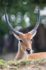 Cobo dell'Ellisse antilope portrait with huge horns