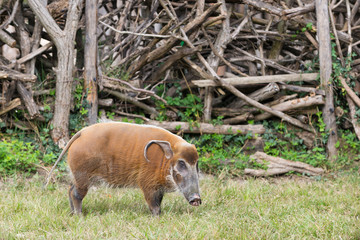 African bush pig eating grass with wood in background