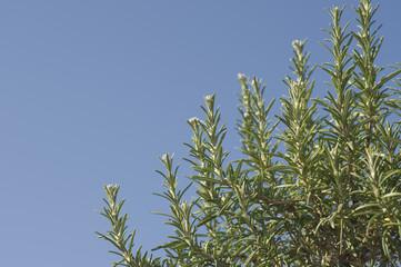 Rosmarin, Rosmarinus officinalis