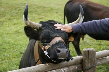 Carezze alla vacca