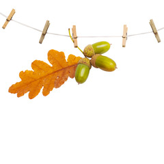 Oak branch with acorns hanging on clothesline isolated on white