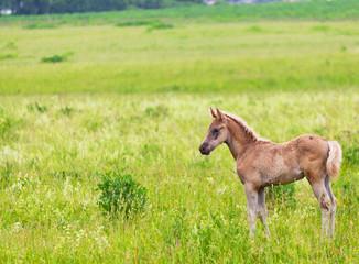 foal  is grazed among a high grass
