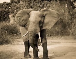 Charging bull elephant in sepia