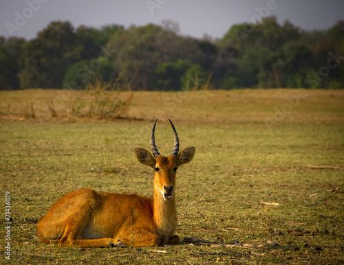 In de dag Antilope Male puku lying in grassy plain
