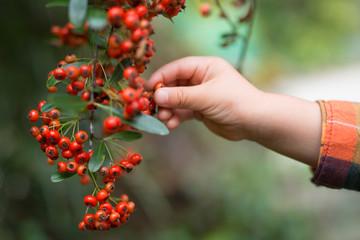 サンザシの実を摘む子供の手