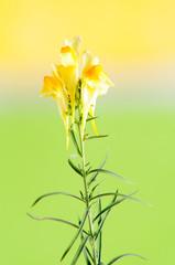 Fiore giallo sfondo verde e giallo, foto in studio