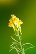 canvas print picture - Fiore giallo sfondo verde e giallo, foto in studio