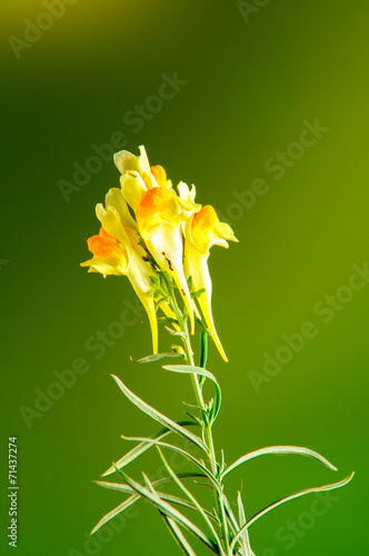 canvas print picture Fiore giallo sfondo verde e giallo, foto in studio