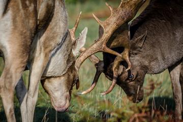 Rutting Fallow Deer Stags