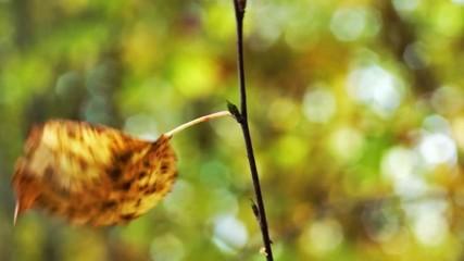 Single autumn leaf on birch in the wind