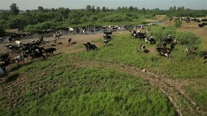 Стадо коров на пастбище