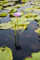 Purple lotus flower on water