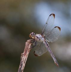 Hunting bug