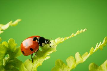 Nice ladybug on fern on green background