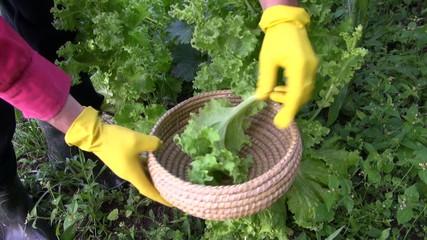 farmer gardener hands pick fresh healthy lettuce