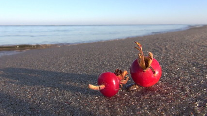 red ripe rose dogrose brier hips fruit on  sea beach sand