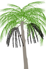 Palma acai (Euterpe oleracea) - ilustracja