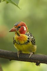 Barbet bird