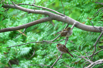 Natural background. Two sparrows sitting on a branch of rowan