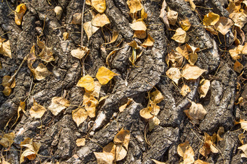 Natural background and texture. Thick bark with fallen autumn le