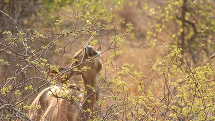 A wild female Kudu antelope feeding on green leaves