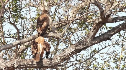 A mating pair of wild Tawny Eagles perched in a tree