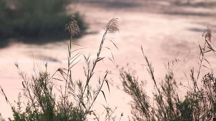 Common wild reed plants swaying in the wind next to a river