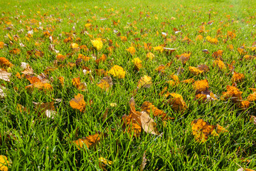 Fall leaves on the green grass.