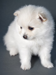 White German Spitz puppy in a full-length, looking to the side o