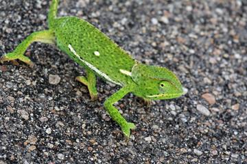 The African chameleon goes on asphalt road, Kruger national Park