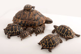 Famille de tortues Herman (Testudo Hermanni)