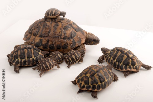 Foto op Canvas Dragen Famille de tortues Herman (Testudo Hermanni)