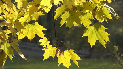 Maple leaves waving - HD