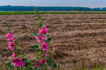 Malven am Getreidefeld