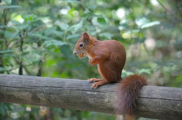 Red squirrel sitting on a log
