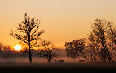Sunset over cows in a foggy field