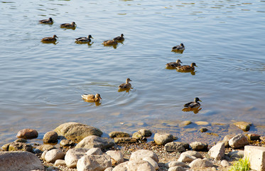 Ducks floating on water in the autumn afternoon