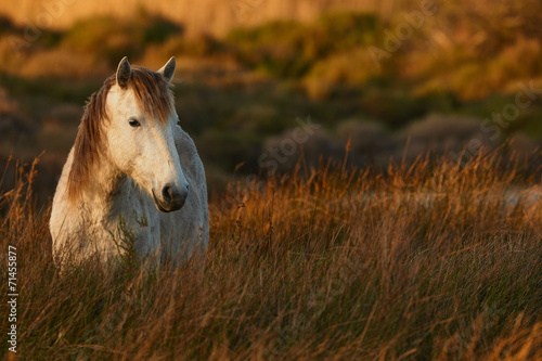 Poster White horse of Camargue