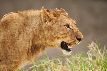Close image of a lionesst