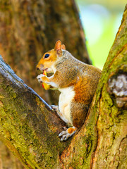 grey squirrel in autumn park eating apple