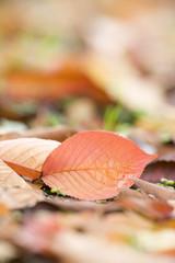 黄葉したケヤキの落ち葉