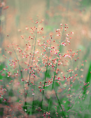 Grass flower in the morning