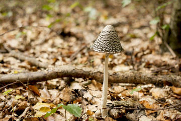 beautiful coprinus conatus mushroom growing in an autumn forest