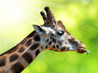 Portrait of a giraffe on green natural background