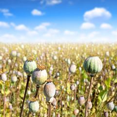 Poppy heads in field on sunny day