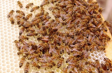 Queen Bee Lays Eggs on Frame of Uncapped Honey and Brood Cells