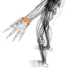 3d render medical illustration of the carpal bone