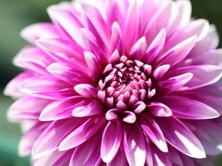 ダリア‐鮮やかな花