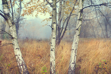 Autumn view of the misty glade of young birches