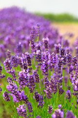 Fresh blossoming lavender. Summertime outdoors.